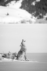Coyote, Antelope Flats, Grand Teton National Park. March, 2019.
