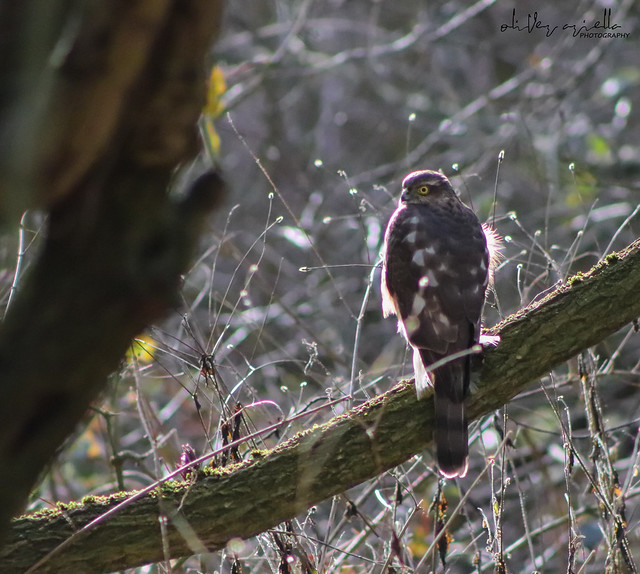 Female Sparrowhawk