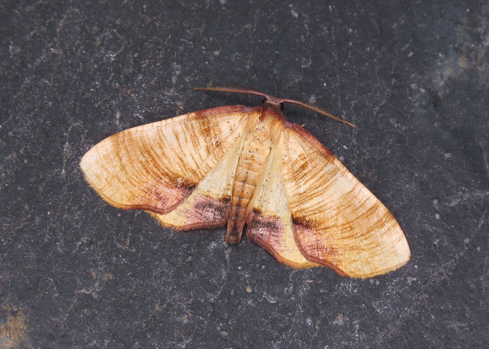 70.224 Scorched Wing - Plagodis dolabraria