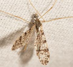 Limnophila fuscovaria