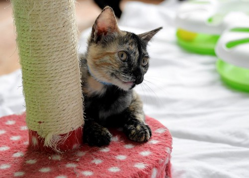 Narubi, gatita carey de cara bicolor amorosa esterilizada, nacida en Marzo´19, en adopción. Valencia RESERVADA. 48088261336_a78ea12b55