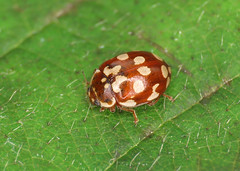 18-spot Ladybird - Myrrha octodecimguttata