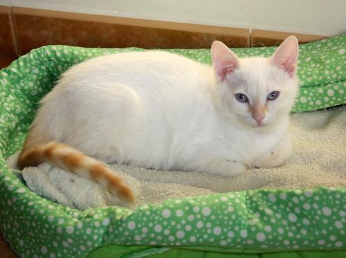 Karnak, gatito siamés Red Point locuelo y dulzón esterilizado, nacido en Marzo´19, en adopción. Valencia. 48088275706_014f009b5d