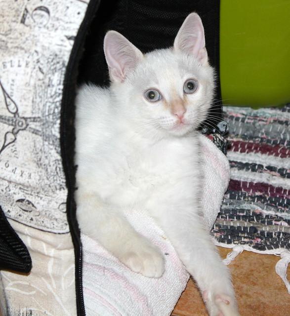 Karnak, gatito siamés Red Point locuelo y dulzón esterilizado, nacido en Marzo´19, en adopción. Valencia. 48088276626_f1182db6c5_z