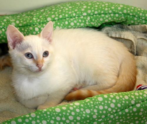 Karnak, gatito siamés Red Point locuelo y dulzón esterilizado, nacido en Marzo´19, en adopción. Valencia. 48088278536_5b881eb1d6