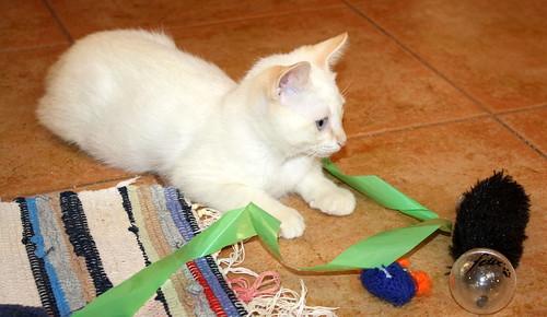 Karnak, gatito siamés Red Point locuelo y dulzón esterilizado, nacido en Marzo´19, en adopción. Valencia. 48088278996_bf671d36b0