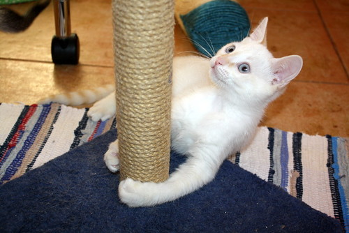 Karnak, gatito siamés Red Point locuelo y dulzón esterilizado, nacido en Marzo´19, en adopción. Valencia. 48088281376_39f6589d24