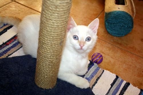 Karnak, gatito siamés Red Point locuelo y dulzón esterilizado, nacido en Marzo´19, en adopción. Valencia. 48088284411_256a9c6748