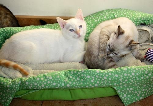 Karnak, gatito siamés Red Point locuelo y dulzón esterilizado, nacido en Marzo´19, en adopción. Valencia. 48088287296_3a17e3c072