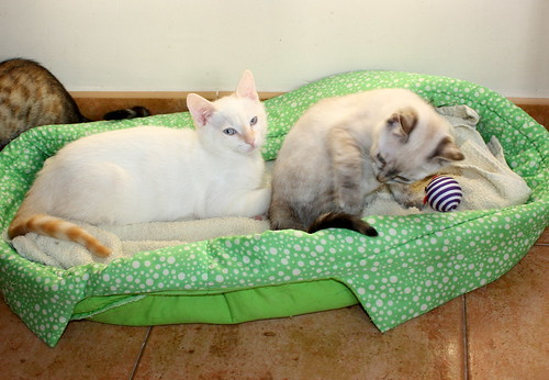 Karnak, gatito siamés Red Point locuelo y dulzón esterilizado, nacido en Marzo´19, en adopción. Valencia. 48088287711_f988347a13