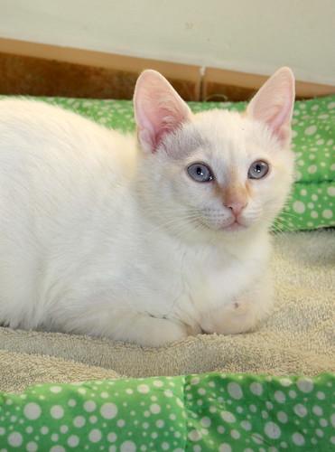 Karnak, gatito siamés Red Point locuelo y dulzón esterilizado, nacido en Marzo´19, en adopción. Valencia. 48088288026_9216c1371d
