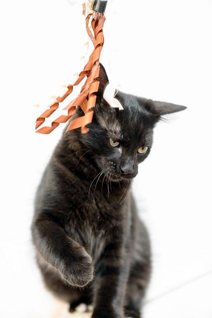 Yoel, gatito monisimo pelo semilargo negro esterilizado, nacido en Febrero´19, en adopción. Valencia. 48088309676_74ca93b1a3_z
