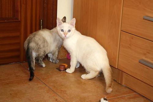 Karnak, gatito siamés Red Point locuelo y dulzón esterilizado, nacido en Marzo´19, en adopción. Valencia. 48088317248_e8626192d5