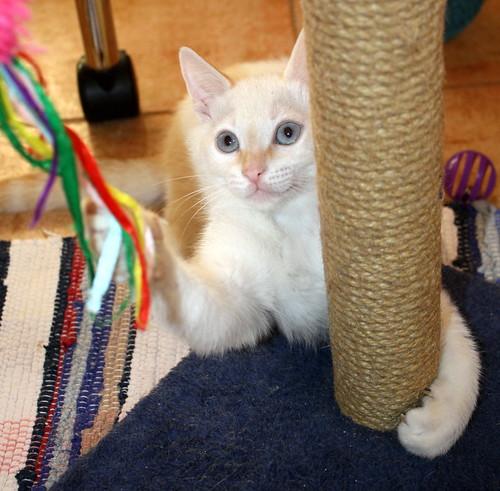 Karnak, gatito siamés Red Point locuelo y dulzón esterilizado, nacido en Marzo´19, en adopción. Valencia. 48088320068_bf6f13ff7f