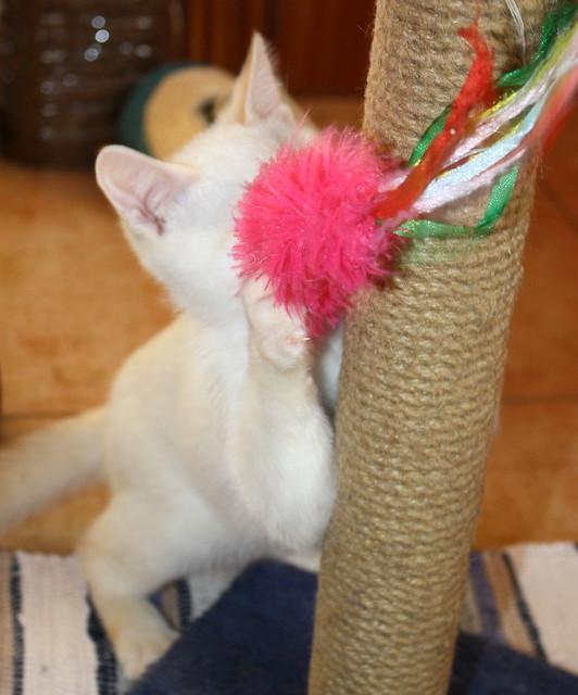 Karnak, gatito siamés Red Point locuelo y dulzón esterilizado, nacido en Marzo´19, en adopción. Valencia. 48088321023_4593620c00_z