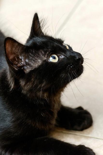 Yoel, gatito monisimo pelo semilargo negro esterilizado, nacido en Febrero´19, en adopción. Valencia. 48088346288_45ef099841_z