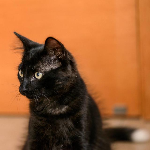 Yoel, gatito monisimo pelo semilargo negro esterilizado, nacido en Febrero´19, en adopción. Valencia. 48088347178_de5d761791_z