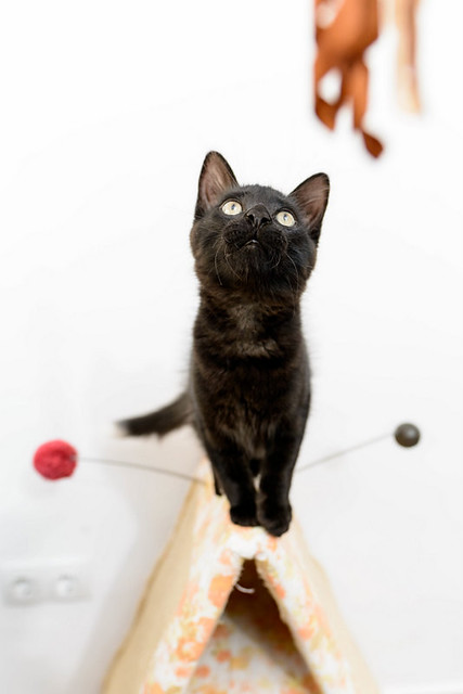 Yoel, gatito monisimo pelo semilargo negro esterilizado, nacido en Febrero´19, en adopción. Valencia. 48088347873_222bf6380f_z