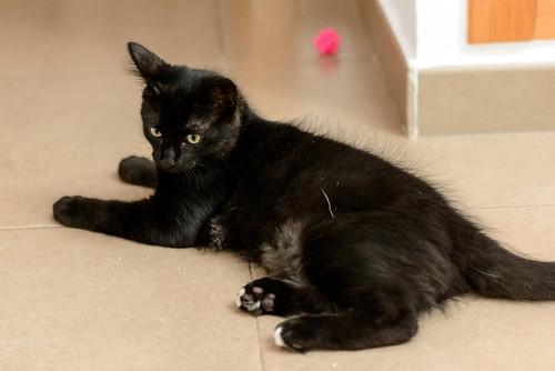 Yoel, gatito monisimo pelo semilargo negro esterilizado, nacido en Febrero´19, en adopción. Valencia. 48088348133_50dae1f1e2