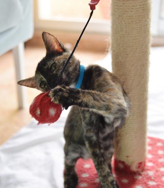 Narubi, gatita carey de cara bicolor amorosa esterilizada, nacida en Marzo´19, en adopción. Valencia RESERVADA. 48088360492_3368b6a548_z
