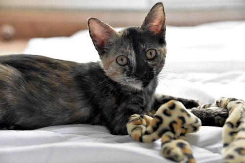 Narubi, gatita carey de cara bicolor amorosa esterilizada, nacida en Marzo´19, en adopción. Valencia RESERVADA. 48088360667_b52cd1568c