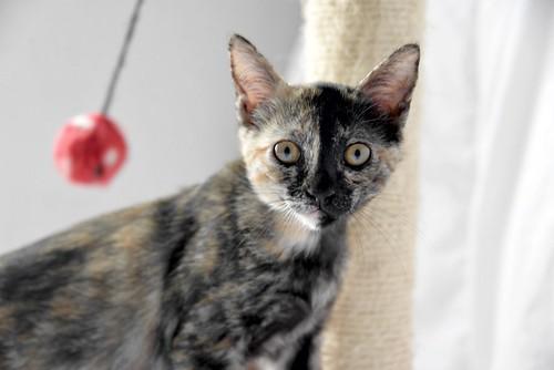 Narubi, gatita carey de cara bicolor amorosa esterilizada, nacida en Marzo´19, en adopción. Valencia RESERVADA. 48088361202_3ac6e7bc18