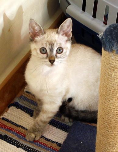 Karina, gatita siamesa tabby preciosa, tímida y muy juguetona esterilizada nacida en Marzo´19, en adopción. Valencia. ADOPTADA. 48088370348_bb3ae6cb06