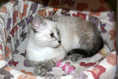 Karina, gatita siamesa tabby preciosa, tímida y muy juguetona esterilizada nacida en Marzo´19, en adopción. Valencia. ADOPTADA. 48088372813_f72f6d1193