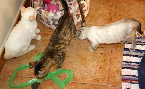 Karnak, gatito siamés Red Point locuelo y dulzón esterilizado, nacido en Marzo´19, en adopción. Valencia. 48088374792_345d256aa2