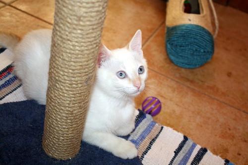 Karnak, gatito siamés Red Point locuelo y dulzón esterilizado, nacido en Marzo´19, en adopción. Valencia. 48088383137_6e4f294af2