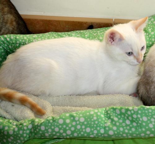 Karnak, gatito siamés Red Point locuelo y dulzón esterilizado, nacido en Marzo´19, en adopción. Valencia. 48088385087_a38924c42e