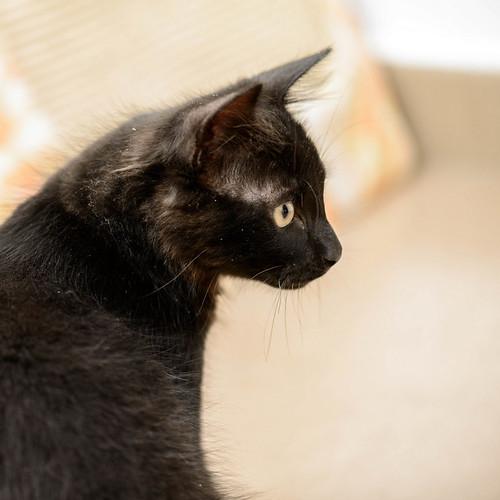 Yoel, gatito monisimo pelo semilargo negro esterilizado, nacido en Febrero´19, en adopción. Valencia. 48088406302_15f1459109