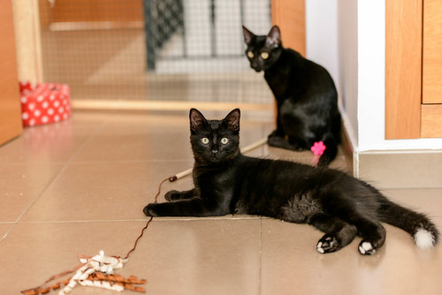 Yoel, gatito monisimo pelo semilargo negro esterilizado, nacido en Febrero´19, en adopción. Valencia. 48088406987_d523db25c4