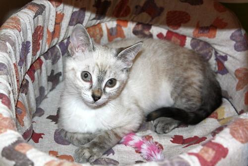 Karina, gatita siamesa tabby preciosa, tímida y muy juguetona esterilizada nacida en Marzo´19, en adopción. Valencia. ADOPTADA. 48088433247_5e39080f3e