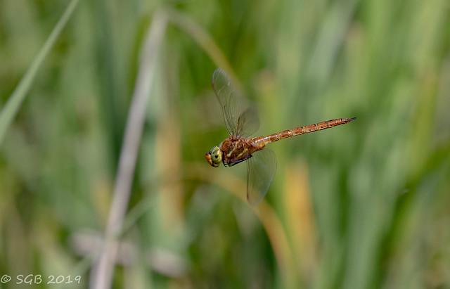 Green-eyed Hawker