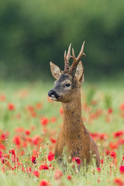 Roe Deer in Poppies in the rain