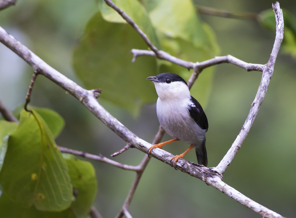 Rendeira, White-bearded Manakin (Manacus manacus) - male