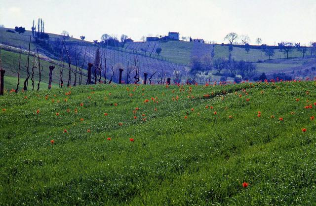 Grano e tulipani (marzo 1979)