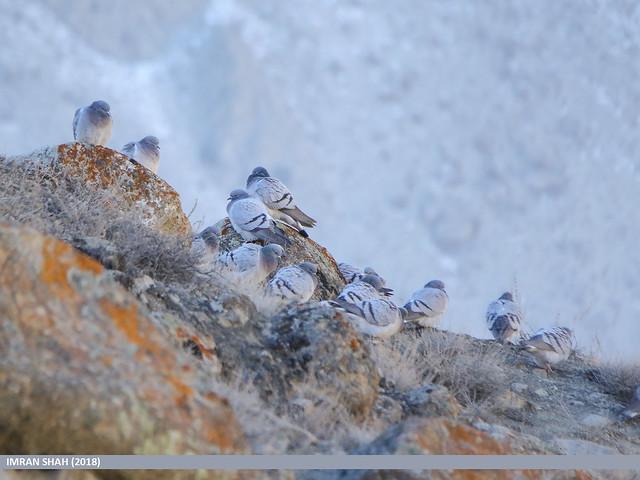Hill Pigeon (Columba rupestris)