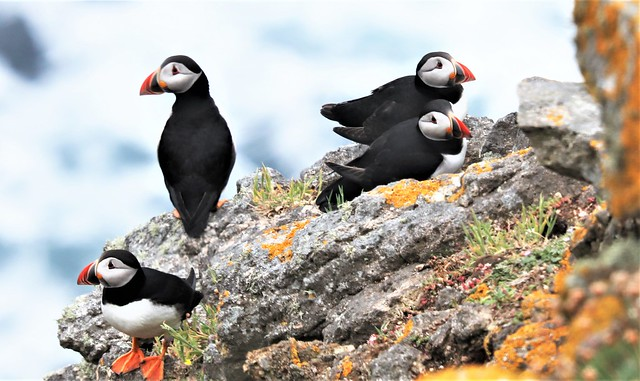 Four Puffins of many on Lundy.