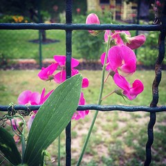 Sweet peas escaping the fence