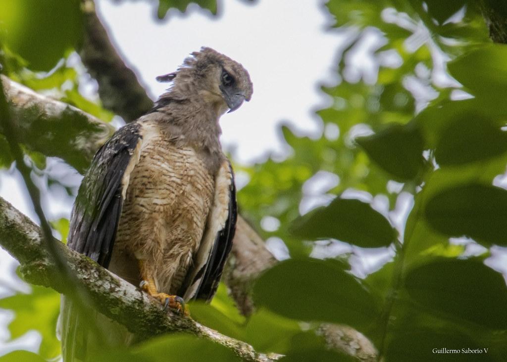 Crested Eagle (Morphnus guianensis)