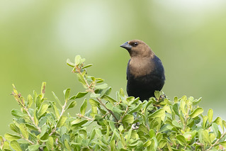Brown-headed Cowbird | by Mick Thompson1