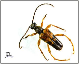 Leptura obliterata - Flower longhorn beetle-1