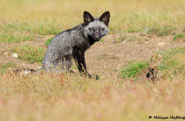 Silver phase Red Fox Kit (Vulpes vulpes)