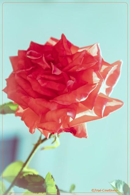 IMG_1054_Pink Rose