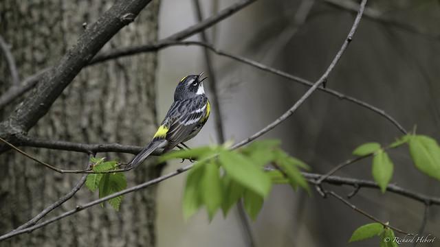 Paruline à Croupion Jaune  / Yellow-rumped Warbler