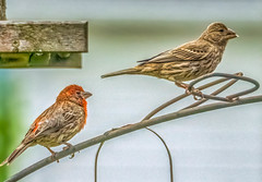 Male and female house finches