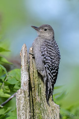 Red-bellied Woodpecker (Juvenile)
