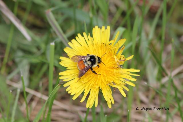 Orange-belted Bumblebee (Bombus ternarius) and  Dandelion (Taraxacum officinale)